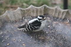 Downy Woodpecker (Saline, Michigan) - December 29 & 30, 2016 (cseeman) Tags: downywoodpecker woodpecker suet feeder birds saline michigan backyard suetfeeder winter downy12302016 ice frozen