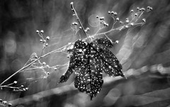 glowing freckles (Simon[L]) Tags: leaf trapped webs fallen speckled trioplan100mm meyeroptik blackandwhite bokeh