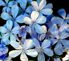 Shades Of Blue (Khaled M. K. HEGAZY) Tags: nikon coolpix p520 rassedr egypt nature outdoor closeup macro plumbago stamen pistil plant flower petal blue white