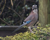 DSC_5328 Jay (Rattyman76) Tags: bird corvid jay