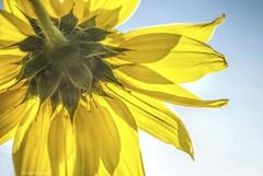 Backwards.... (Joe Hengel) Tags: socal southerncalifornia sanjuancapistrano afternoon sunflower backwards petals flower orangecounty oc outdoor yellow theoc plant california ca bluesky blue beautifulafternoon afternoonsky