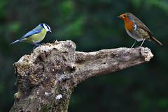 Birds in the UK (Allan Durward) Tags: robin ayr rozelle rozellepark ayrshire