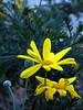sono andata a trovare Albertina (fotomie2009) Tags: grayleaved euryopseuryops pectinatus pectinata daisy margherita gialla asteraceae cimitero vado ligure yellow flower flora fiore winter