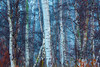 Birch Bark (Adam_Marshall) Tags: countryside blue trees england winter plants forest cambridgeshire stereocolours outdoors fog nature morning landscape adam marshall adammarshall mist wood cold wet frosty icy frozen foggy atmospheric dreamy holme fen woodland outside tall dense birch