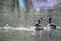 H501_0698 (bandashing) Tags: geese water canal gosling gander goose fowl waterfowl gaggle swim family sylhet manchester england bangladesh bandashing aoa socialdocumentary spring akhtarowaisahmed