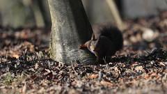 "Scoiattolo Rosso del Ticino - (""Sciurus Robertis"" - Linnaeus 1758) (carlo612001) Tags: scioattolo squirrel sciurus redsquirrel scoiattolorosso friend friends amico amici bosco wood forest cute lovely beautiful ardilla écureuil eichhörnchen urtxintxa esquirol veverka 松鼠 egern бялку orav orava feòrag esquilo wiwer リス σκίουροσ गिलहरी iora íkorna тиін aeschyli vāvere voverė schéier верверица iskojjattlu хэрэм लोखर्के ekorn eekhoorn wiewiórka veveriță белка веверица veverička veverica ekorre அணில் sincap білка mókus olmaxon consóc"