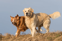 Lilly & Einstein (HendrikSchulz) Tags: 2017 canon canon7dmarkii canonef70200f4lusm canoneos7dmarkii haustier haustiere haustierfotografie hendrikschulz hendriktschulz hund hunde hundefotografie januar january tier tiere tierfotografie winter animal animalphotography animals dog dogphotography dogs pet petphotography pets