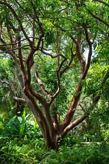 gumbo-limbo tree, Coral Gables, FL, USA (lumierefl) Tags: miami miamidadecounty florida fl usa unitedstates south southeast subtropics northamerica coralgables nature tree gumbolimbo tropic subtropic foliage