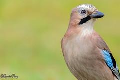 Jay (parry101) Tags: cardiff whitchurch forest farm south wales bird birds animal outdoor jay jays jaybird