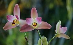 Three's A Crowd (ACEZandEIGHTZ) Tags: orchid nikon d3200 flower orchidea closeup macro bokeh redjewel lysudamuloa coth coth5 ithinkthisisart sunrays5