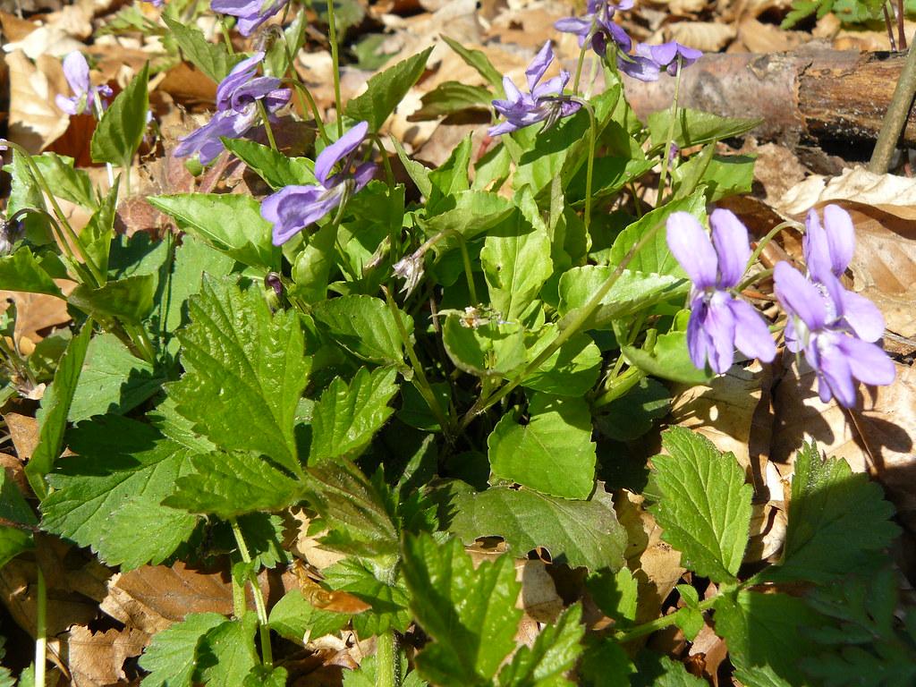 Viola reichenbachiana4