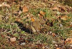 Bird (Hugo von Schreck) Tags: robin rotkehlchen bird vogel outdoor bayern deutschland hugovonschreck canoneos5dsr tamron28300mmf3563divcpzda010 yourbestoftoday