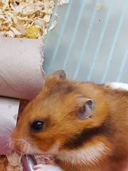 Hamster Is Drinking Lots Of Water