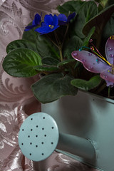 African Violet Watering Can (bulliversmom) Tags: directionallight flowers