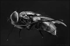 135rev50t2 ps1bwb (GTV6FLETCH) Tags: focusstack fly flyeyes macro manualfocus reversed reversedlens 135mm 50mm macrotubes canon canoneos5dmark2