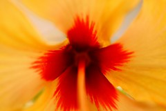 Hibiscus (Rajavelu1) Tags: flowers hibiscus yellow red plant nature beautyofnature art artland artwork creative canon60d canonef100mmf28macroisusmlens macrophotograph simplysuperb