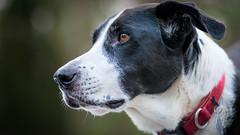 I managed a whole day without posting a pic of Zac! (2) (grahamrobb888) Tags: nikon nikond800 afnikkor80200mm128ed trapfocus zac dog pet homegarden birnam perthshire scotland bokeh birnamwood