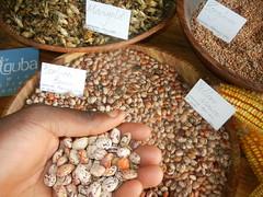 Guba seed saving