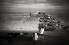Kitteh highlight (O9k) Tags: bw film analog cat bokeh hc110 rangefinder kitteh analogue sitges gat contaxiia selfdeveloped homedeveloping russianlens sovietlens scratchedfilm espigó