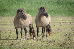 Konik Horses at Blacktoft Sands. (photoshack 07) Tags: yorkshire rspb blacktoftsands konikhorses