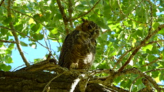 Great Horned Owls (Jim Mullhaupt) Tags: summer wallpaper lake tree bird nature water landscape utah pond nikon flickr outdoor background wildlife saratogasprings p900 swamp owl coolpix greathornedowl utahlake mullhaupt nikoncoolpixp900 coolpixp900 nikonp900 jimmullhaupt