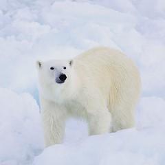 Polar Bears (Christopher.Michel) Tags: polarbear quark polarbears northpole nuclearicebreaker 50letpebody