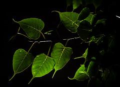 Banyan Leaves (ramkumar999) Tags: leaves 50mm nikon nikkor f18 ai banyan d40