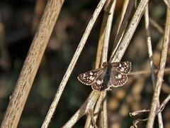 Pyrgus communis (Grote, 1872) (carlos mancilla) Tags: pyrguscommunis insectos mariposas butterflies olympussp570uz pyrguscommunisgrote1872 saltarinadetablero commoncheckeredskipper hesperiidae pyrginae