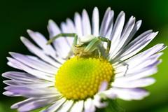 Huntress (bogenfreund) Tags: macro insect spider spinne makro insekt crabspider krabbenspinne
