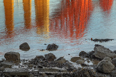 Forth Bridge Reflections (Shuggie!!) Tags: bladderwrack forthbridges hdr landscape lothians morninglight mudflats reflections rocks scotland seaweed southqueensferry zenfolio karl williams karlwilliams