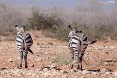 Hartmann mountain zebras (dieLeuchtturms) Tags: 3x2 africa afrika bergzebra equidae equuszebra equuszebrahartmannae etoshanationalpark hartmannbergzebra namibia perissodactyla pferde säugetiere unpaarhufer vertebrata vertebrates wirbeltiere mammals mountainzebra kunene