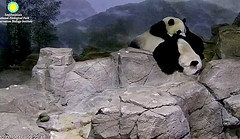 I like to be near my mama   ./sx100.png (heights.18145) Tags: smithsoniansnationalzoo beibei meixiang corner panda bear pandabear cuteanimals bearcubs motheranimals ccncby