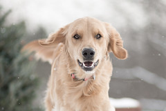 embracing winter (Tom Landretti) Tags: golden dog embracingwinter snowing snow winter goldenretriever charlie littledoglaughedstories