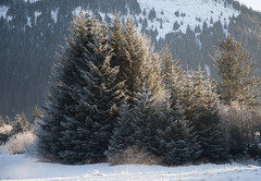 _TRW7466 Frosted Trees (terrificphotos) Tags: juneauaalaska twinlakes dogs frost trees raven evergreen icecrystals hockey