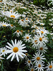 Lets Make a Daisy Chain (Steve Taylor (Photography)) Tags: daisy closeup green white orange asia singapore plant flower perspective