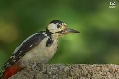 Pica-pau-malhado-grande, The Great Spotted Woodpecker(Dendrocopos major) (xanirish) Tags: picapaumalhadogrande thegreatspottedwoodpeckerdendrocoposmajoremliberdadewildlifenunoxavierlopesmoreirangc ngc wildlife nuno xavier moreira liberdade selvagem birds aves portugal dendrocoposmajor greatspottedwoodpecker