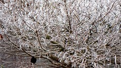 Winter in our garden 2017 (anneke_vermeulen) Tags: winter garden blackbird frost