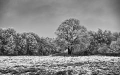 Kamp's land (vanderlaan.fotografeert) Tags: 201701185352 kamps roldedrenthe silverefexpro2 bw blackwhite bomen boom bos burialmound grafheuvel solitair tree trees woods d700 2870f28 tumulus