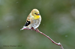American Goldfinch (Arvo P) Tags: algonquinpark outdoors ontario park nature natural naturallight naturephptpgraphy winter arvopoolar