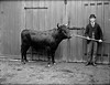 A whole lot of bull! (National Library of Ireland on The Commons) Tags: ahpoole arthurhenripoole poolecollection glassnegative nationallibraryofireland bull nosering man handler waterford doors latch curraghmore cattle glennine glennie landsteward delapoer curraghmoreestate tarbh lepoer bowlerhat