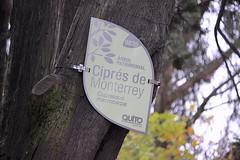 Ciprés de Monterrey (oxfordblues84) Tags: ecuador quito park tree oat overseasadventuretravel parqueelejido hugetree bigtree ciprésdemonterrey montereycypress cupressusmacrocarpa elejidopark