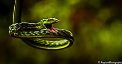 Green Hiss (Joshi.Raghavendra) Tags: greenvinesnake macro tamron90mm