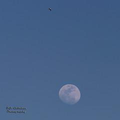 17FebMoon_4A4141n (OJCPhotoInc) Tags: ojcallahanphotography canoneos5dmarkiii canonef70200mmf28lis moon daytime fullmoon daytimemoon birdandfullmoon nature wildlife astronomy