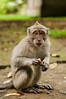 monkey at sangeh monkey forest (Sam Scholes) Tags: sangehmonkeyforest badungregency purabukitsari hinduism hindu travel bukitsaritemple bali palaforest sangeh holymonkeyforest vacation indonesia denpasar moneyforest abiansemal id