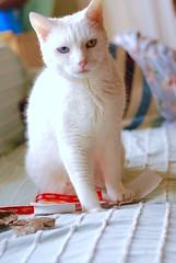 Can Christmas be over now? (rootcrop54) Tags: charlie newyear christmas wrapping paper male white allwhite cat macska kedi 猫 kočka kissa γάτα köttur kucing gatto 고양이 kaķis katė katt katzen kot кошка mačka maček kitteh chat ネコ