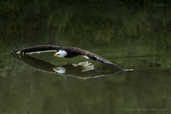 Look what I can do (Susan Newgewirtz) Tags: eagle americanbaldeagle outdoor ontario raptor wildlifephotography water