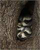 double trouble (Christian Hunold) Tags: raccoon mammal treecavity waschbär johnheinznwr philadelphia christianhunold