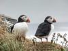 Papageientaucher Island (beate457) Tags: weichgezeichnet mittlerequalitã¤t mittlerequalität island papageientaucher vogel tier