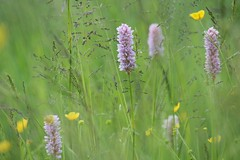 Memory Of The Summer (ivlys) Tags: taunuseinrich wiese meadow knöterich smartweed butterblume scharferhahnenfus ranunculusacris blumen flowers nature landschaft landscape ivlys