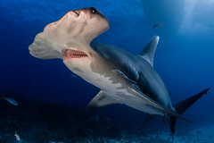 Great Hammerhead Shark (lucien_photography) Tags: rouge greathammerhead hammerhead shark underwater blue wildlife bahamas fish ocean sea tigerbeach scubadiving diving jaws